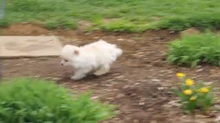 Download Pomeranian Puppies For Sale John and Naomi Stoltzfus Video
