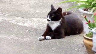 Download 할머니 집앞마당에서 놀고 있는 귀여운 턱시도 고양이와 노랑고양이 ,cat , North Jeolla Province(전라북도 全羅北道). . Jeonju.KOREA. Video