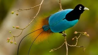 Download Birds-of-Paradise Project Introduction Video