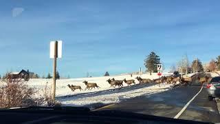 Download Herd of elk crossing road Video