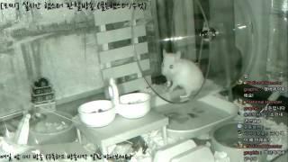 Download [모찌Live/햄스터] 실시간 햄스터 관찰 방송 Hamster Live #16-12-03 Video