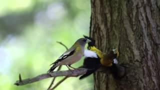 Download Evening Grosbeak courtship display Video