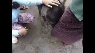Download Orphan elephant calf takes Human as Mother Video