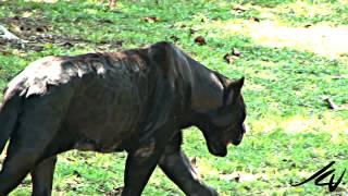 Download Black Panther - Panthera onca at Xcaret Riviera Maya Mexico - YouTube Video