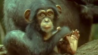Download Cutest baby Chimp | early learnings | Attenborough: Trials of Life | BBC Video