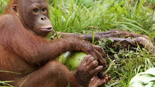 Download A Young Orangutan Turns to Coconut Theft Video