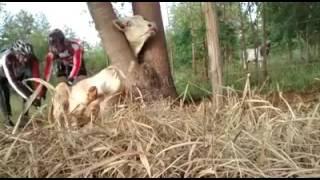 Download Trilheiros resgantam Boi preso em arvore e cerca (biocicleta.br) Video