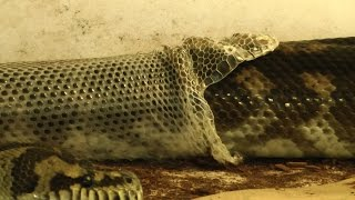 Download Carpet Python Perfect Shed Video