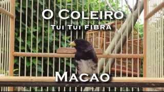 Download Coleiro Tui Tui Fibra | Canto para Treinar / Ensinar seu Coleiro / Canto para Muda | Papa-Capim Video
