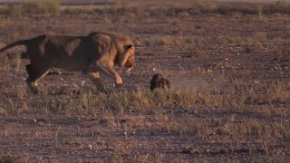 Download Fearless honey badger vs a Male lion Video