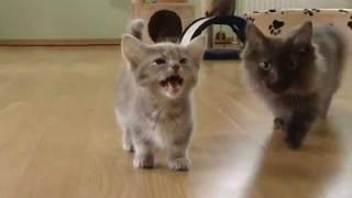 Download Cute munchkin baby kitten talks too much Video