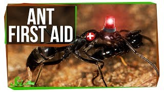 Download These Ant Paramedics Save Their Injured Comrades Video