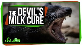 Download Using Devil's Milk to Kill Superbugs Video