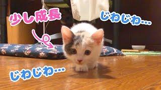 Download 大きくなったじわじわ近づいてくる子猫 Video