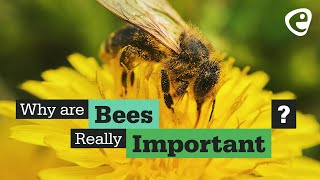 Download Why are bees important? Video