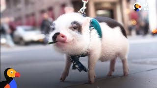 Download Sick Pig's Parents Do Everything They Can To Save His Life | The Dodo Video