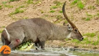 Download Waterbuck Escapes the Jaws of a Crocodile Video
