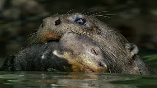 Download Otter Cubs Get a Swimming Lesson | BBC Earth Video