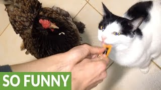 Download Cat shares treat with his chicken friend Video