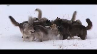 Download Wolf Pack vs 2 coyotes Video