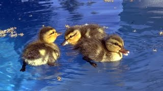 Download Baby ducks in my pool! First day of life. An amazing story. Video