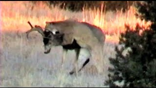 Download Cougar Attack !!! MuleyCrazy 6: Trophy Mule Deer Overdose Video