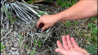 Download What to do if you find a fallen baby bird or nest - Tips from a Wildlife Biologist Video
