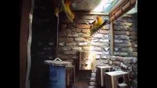 Download Budidaya burung lovebird secara koloni lebih mudah Video