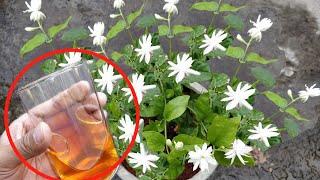 Download ऐसा करने से मोगरा/Jasmine पर आऐंगे इतने फ़ूल कि सारा मोहल्ला महक उठेगा Video
