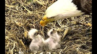 Download Feeding, fighting and falling over at Decorah Eagles North. 22 May 2018 Video
