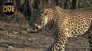 Download safariLIVE - Sunset Safari - October 8, 2018 Video