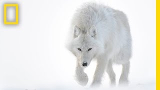 Download Photographer Captures Stunning Arctic Wildlife | Short Film Showcase Video