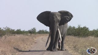 Download Watch Spectacular Large Tusker Elephant In Action Video