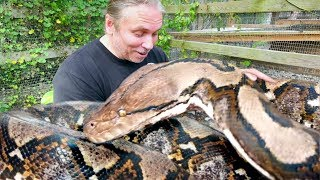 Download A TRULY GIANT SNAKE!! PACKING VENOMOUS GABOON VIPERS!! | BRIAN BARCZYK Video