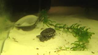 Download Baby soft shell turtle and musk turtle playing Video