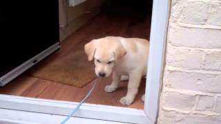 Download Oscar, our labrador puppy, scared to cross the door threshold for his first walk Video
