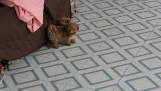 Download Maltipoo Puppies For Sale Barbie Beiler Video