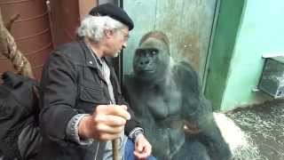 Download Gorilla Silverback Roututu meets his friend - Raymond Hummy Art - Sehnsucht - Desire Video