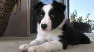 Download Border Collie Puppy | Cooper at 10 weeks Video