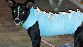 Download Roupa cirurgica artesanal para gatos e cachorros Video