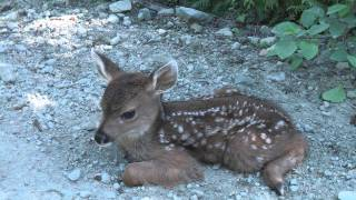 Download Baby Deer calls Logger ″Mom″. Video