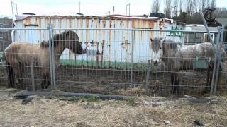 Download Henk op de Bres voor verwaarloosde paarden Video