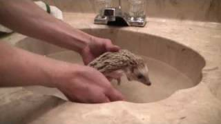 Download How to give your hedgehog a bath Video