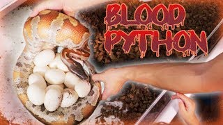 Download Our First Blood Python Eggs Video