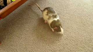 Download cute rats being naughty Video