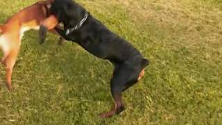 Download The Java Adventure - Rottweiler vs Malinois Video