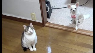 Download 【まるでおやつが貰えるような期待満々の眼差しを送ってくるのらとくー】A cat and a dog that a snack looks like wanting Video