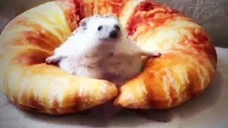 Download Hedgehog 😍 Cute and Funny Hedgehogs (Full) [Funny Pets] Video
