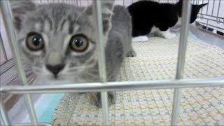 Download 子猫里親 「猫の譲渡会」性格も様々な子猫たち その5 Video