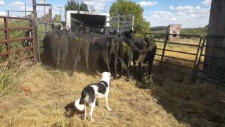 Download Loading cattle into trailer with Satus Brute Video